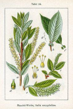 Salix triandra, Almond Willow
