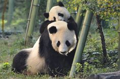 Giant Panda Fuhu and mother Yang Yang by Josef Gelernter on 500px