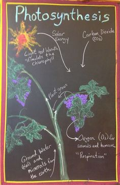 Waldorf ~ 5th grade ~ Botany ~ Photosynthesis ~ chalkboard drawing