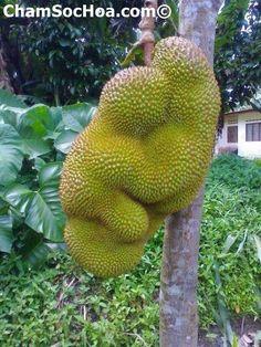 Mít thái cách trồng và chăm sóc cây mít thái lá bàng  xem thêm tại chamsochoa.com