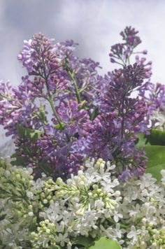 However lovely the flowers are, the lilac shrub?s short blooming season can be disappointing. Careful selection of lilac bush companions in the garden can help fill the gap. For tips on what to plant with lilac bushes, click this article. Trees And Shrubs, Trees To Plant, Dwarf Lilac, Companion Gardening, American Meadows, Lilac Tree, Full Sun Perennials, Lilac Bushes, Picture Tree