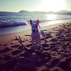 #sainttropez #sttropez #holiday #france #cotedazur #jackrussellterrier #jackrussell #autumn #november #love #lacroixvalmer