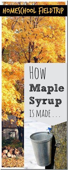 How maple syrup is made - A fun homeschool fieldtrip idea; or just take a virtual fieldtrip here.