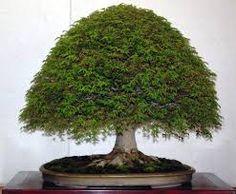 Resultado de imagen para bonsai escoba