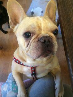 Olivier, the French Bulldog