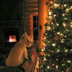 """#christmas #christmastree #tree #dog #puppy #scottie #cosy #fairylights #fire #festive #winter"" Photo taken by @christmas.addict.2015 on Instagram, pinned via the InstaPin iOS App! http://www.instapinapp.com (10/19/2015)"