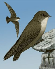 Chimney Swift - Whatbird.com Brown With Grey Highlights, Love Birds, Beautiful Birds, Swift Bird, Nocturnal Birds, Bird Sketch, North America Map, Dawn And Dusk, Bird Watching