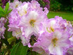 Hirsutum.info -- Rhododendron Hybrids/cultivars: 'Gilbert Myers'