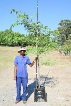 The deciduous Leopard tree is named so because of its beautifully textured bark. Originating from Brazil, its delicate branches and attractive leaves cast light shade that is suitable for grass-growing. Growing Tree, Light Shades, Branches, Brazil, Grass, Delicate, It Cast, Leaves, Grasses