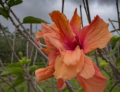 It's Friday and I have a Big Island hibiscus in all its splendor! Isn't this a beauty? https://terryambrose.com/?p=17354