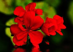 Sold - Red Geranium on Water