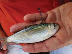 5 Ways to Hook A Live Bait | Salt Water Sportsman