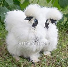 this is a cross between a Silkie and a Naked Neck called a Showgirl.