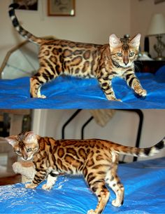 Bengal Kitten -- Angel pictured at 3 1/2 months of age.