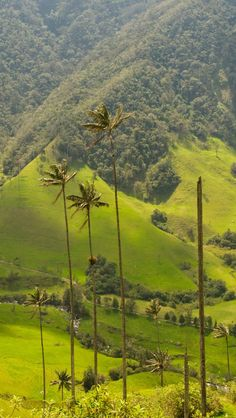 Palm Trees Cocora Valley | Colombia