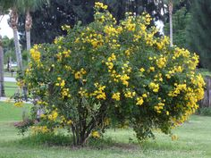 Cassia bicapsularis      Category: Trees  Height: 8-10 ft. (2.4-3 m)  Spacing: 6-8 ft. (1.8-2.4 m)  Hardiness: USDA Zone 8a: to -12.2 °C (10 °F)  Sun Exposure: Full Sun  Bloom Color: Pale Yellow  Bloom Time: Late Fall/Early Winter  Other details:  This plant is attractive to bees, butterflies and/or birds  Flowers are fragrant  Drought-tolerant; suitable for xeriscaping  Provides winter interest