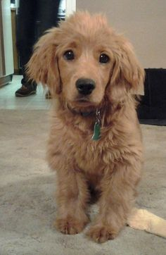 Most will look more like a Golden Retriever, but some might take on more traits of a Cocker Spaniel.