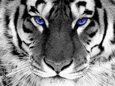 White Tigers are rare animals