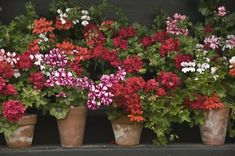 I saw a whole row of brightly colored Geraniums when I drove passed Home Depot the other day. That must mean spring has sprung. If you are planting Geraniums this year, here's a quick guide on caring for them {remember, you can over-winter them. Geranium Care, Geranium Plant, Geranium Flower, Growing Geraniums, Potted Geraniums, Red Geraniums, Potted Plants, Patio Plants, Garden Plants
