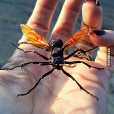 The biggest and the meanest wasp in the world. Japanese Giant Hornet, Tarantula Hawk, Beetle Insect, Real Coffee, Expensive Gifts, How To Make Tea, Coffee Lover Gifts, Wasp, Unusual Gifts