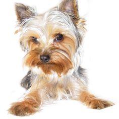 Como é um Yorkshire Terrier. O Yorkshire Terrier originou-se no Reino Unido em meados do século XIX. Foi inicialmente usado como cachorro caçador de ratos para as casas, mas os frequentes cruzamentos entre as diversas raças (Manc...