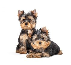 Caring for a Yorkshire Terrier - Things you Should Know. The Yorkshire Terrier is not only one of the world's smallest dogs but also one of the most appreciated for its size and. Yorkie Terrier, Terrier Dog Breeds, Yorkie Puppy, Yorkshire Terrier Teacup, Yorkshire Terrier Puppies, Collie Puppies, Rottweiler Puppies, Lab Puppies, Most Popular Dog Breeds