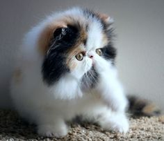 Kittens Cutest, Cats And Kittens, Best Cat Breeds, Persian Cats, Cat Tattoos, Beautiful Cats, Cool Cats, Iran, Fur Babies