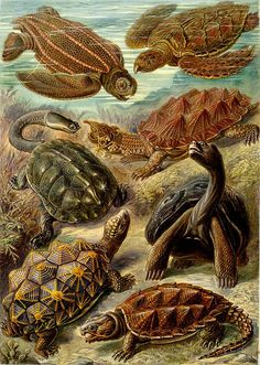 Ernst Haeckel - Kunstformen der Natur (1904), plate 89: Chelonia