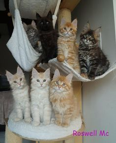 MAINE COON KITTENS!!