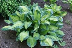 Captain Kirk Hosta from NH Hostas