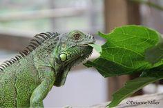 Green iguana conservation project at San Ignacio Resort