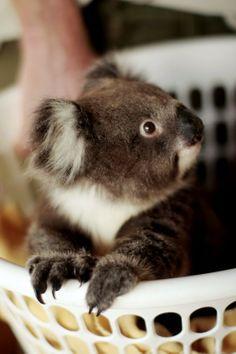 –Baby koala in a laundry basket. Adorable!