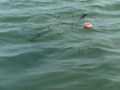 Zolla trapiantata con galleggiante 2015