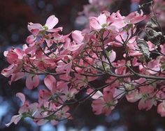 dogwood tree branch with pink blossoms