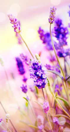 Lilac flower lavender wallpaper
