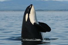 Spy hop by matriarch K13 Skagit PC to Center for Whale Research