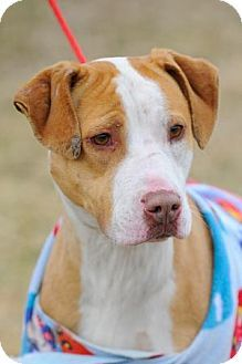 Urgent. Dogs not held long. Johnson City, TN - Pit Bull Terrier Mix. Meet Julia a Dog for Adoption.
