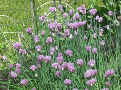 Chives are tasty to eat and the bees love their nectar!