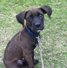 4month old puppy boxer/lab - d'awwww
