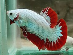 Knowing All Types Of Betta Fish - By Tail, Pattern And Color With Photo And Description - The betta fish is also called Siamese fighting fish is one of the popular fish are keeping by fish hobbies. Colorful Animals, Colorful Fish, Tropical Fish, Cute Animals, Saltwater Tank Setup, Freshwater Aquarium Fish, Betta Aquarium, Snow Dragon, Fish Gallery
