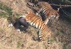 🔹 نمر يفترس رجلاً أمام زوجته وابنته في حديقة حيوانات بالصين 🔹 #الصين #مجهول_الهوية #مقطع_فيديو