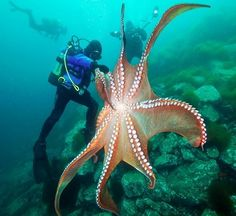 diver and large octopus