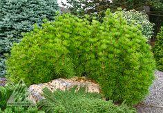 Sciadopitys verticillata 'Mitsch Select'.  Dwarf Japanese Umbrella Pine.  3' x 3' in 10 years.
