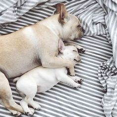 Baby Frenchies Are Best Friends & Cuddle-Buddies #refinery29  http://www.refinery29.com/dog-milk/1#slide1