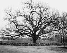 Oak Tree Drawings, Tree Sketches, Drawing Trees, Willow Tree Tattoos, Oak Tree Tattoo, White Oak Tree, Old Oak Tree, Oak Tree Silhouette, Tree Tattoo Designs