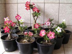 O CULTIVO A VIDA: Você Sabe cuidar da sua Rosa do Deserto?