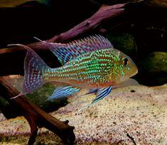 Cichlid Aquarium, Aquarium Set, Cichlid Fish, Saltwater Aquarium Fish, Tropical Fish Aquarium, Tropical Freshwater Fish, Freshwater Aquarium Fish, Rare Fish, Exotic Fish
