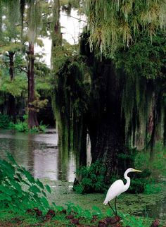 tons of egrets live in the Louisiana bayou
