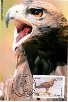 Aquila chrysaetos AIgle Eagle