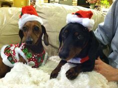 My little Doxie elves